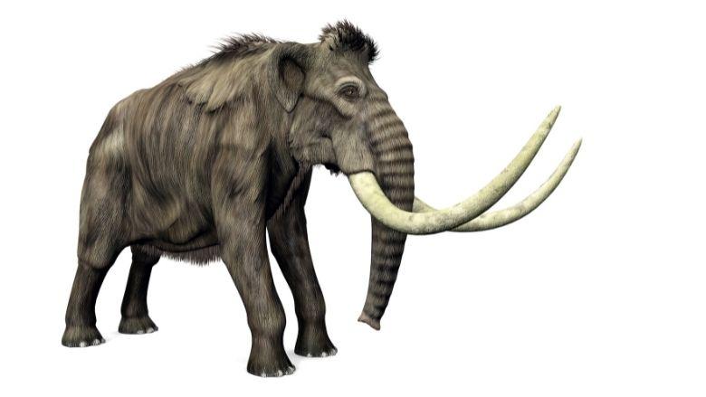Le plus vieil ADN du monde extrait de dents de mammouths